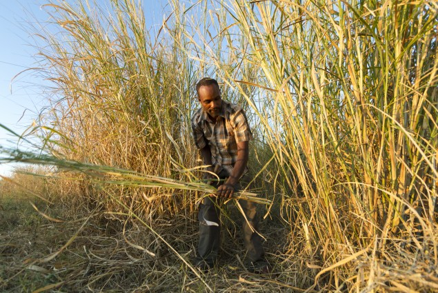 Aman Hassan Harvests Elephant Grass