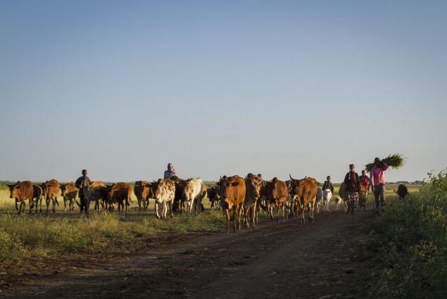 Cattle in Jijiga
