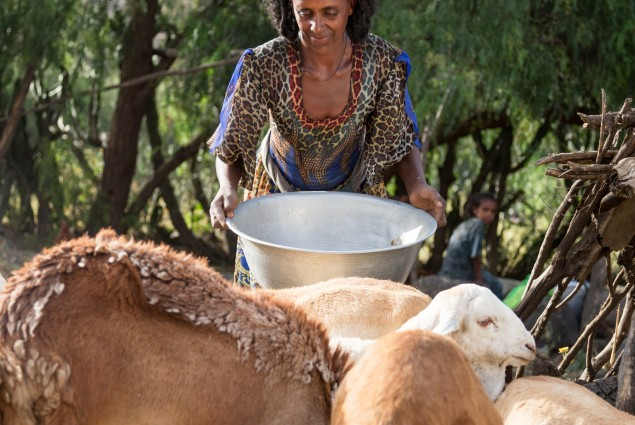 Diversified income. Thanks to USAID, Tumay Ashebir and his wife Alem Tekle and their family are engaged in everything from sheep rearing and fattening to producing vegetables, grains, and honey. They even run a small transportation business with their mule cart. Their assets, which now include 21 sheep, 10 cattle, a cart, beehives, and a year's worth of food in storage, continue to grow.