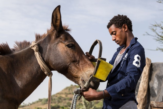 Diversified income. Thanks to USAID, Tumay Ashebir and his wife Alem Tekle and their family (his second oldest son is shown here preparing the mule to pull the cart) are engaged in everything from sheep rearing and fattening to producing vegetables, grains, and honey. They also have a garden and run a small transportation business with their mule cart. Their assets, which now include 21 sheep, 10 cattle, a cart, beehives, and a year's worth of food in storage, continue to grow.