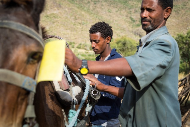 Diversified income. Thanks to USAID, Tumay Ashebir and his wife Alem Tekle and their family are engaged in everything from sheep rearing and fattening to producing vegetables, grains, and honey. They also have a garden and run a small transportation business with their mule cart. Here, their son takes the cart on a water run. Their assets, which now include 21 sheep, 10 cattle, a cart, beehives, and a year's worth of food in storage, continue to grow.