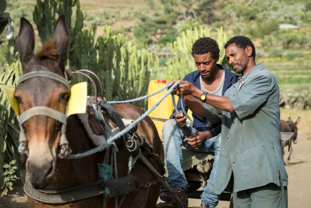 Diversified income. Thanks to USAID, Tumay Ashebir and his wife Alem Tekle and their family are engaged in everything from sheep rearing and fattening to producing vegetables, grains, and honey. They also have a garden and run a small transportation business with their mule cart. Here, Tumay works with his son and their mule cart. Their assets, which now include 21 sheep, 10 cattle, a cart, beehives, and a year's worth of food in storage, continue to grow.
