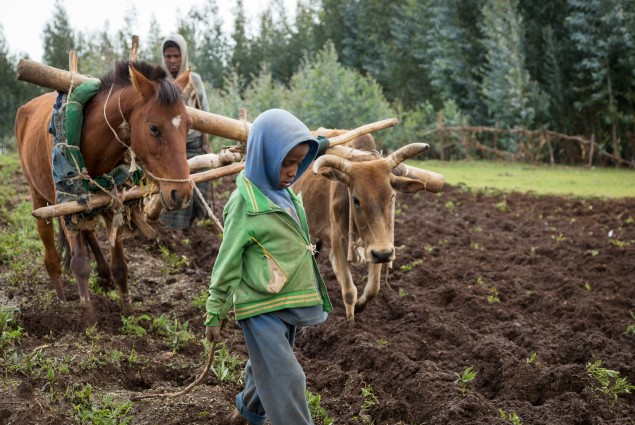 Kassa Mulualem plows her father's land (a young boy helps her to guide the animals in a straight line). Kassa, a project participant and role model, was one of the first women in her area to take up plowing, an activity that is traditionally reserved for men. By sharing her experience with the village savings associations in her area, she is helping to raise awareness about gender equality and encouraging other USAID beneficiaries to change their lives by changing their understanding of the division of labo