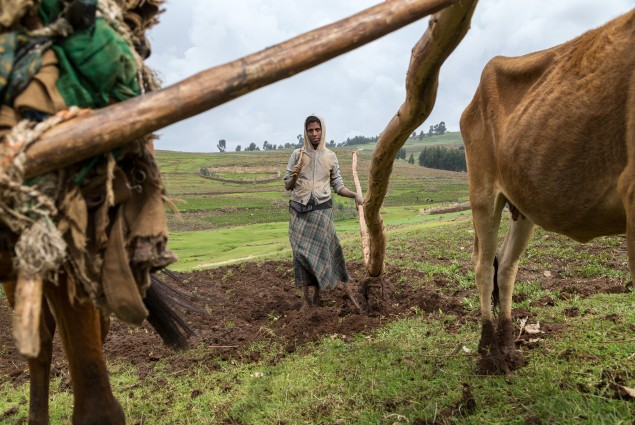 Kassa Mulualem plow her father's land. Kassa is a project participant and role model. She was one of the first women in her area to take up plowing, an activity that is traditionally reserved for men. By sharing her experience with the village economic and social associations in her area, she is helping to raise awareness about gender equality and encouraging other USAID beneficiaries to change their lives by changing their understanding of the division of labor between men and women.