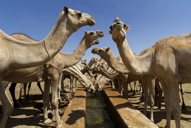 Water Trough for Camels