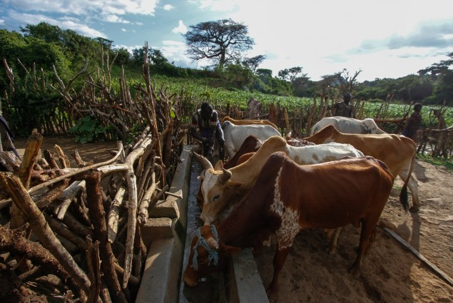 Image of cattle in Ethiopia drinking water from a trough