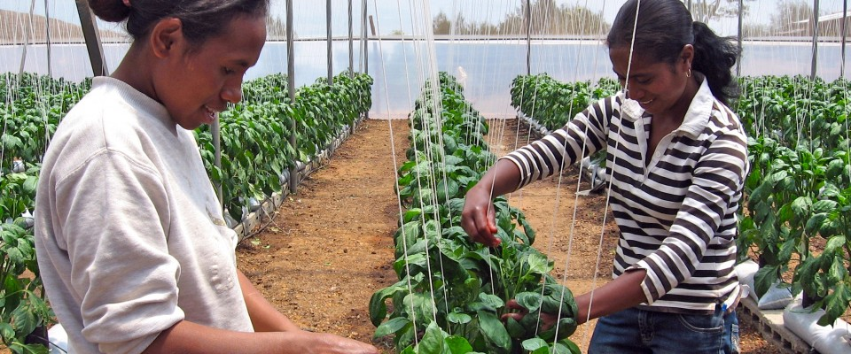 Farmers in Timor Leste benefit from new and better crops introduced through USAID