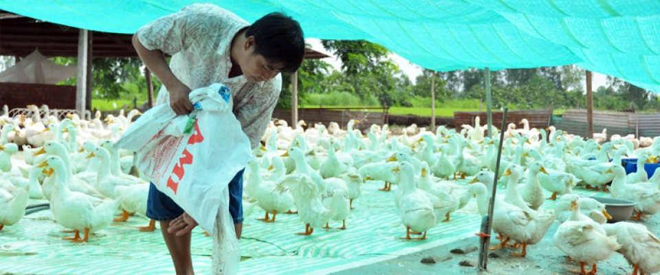 Vietnamese Duck Farmers Earn More While Preventing Avian Influenza