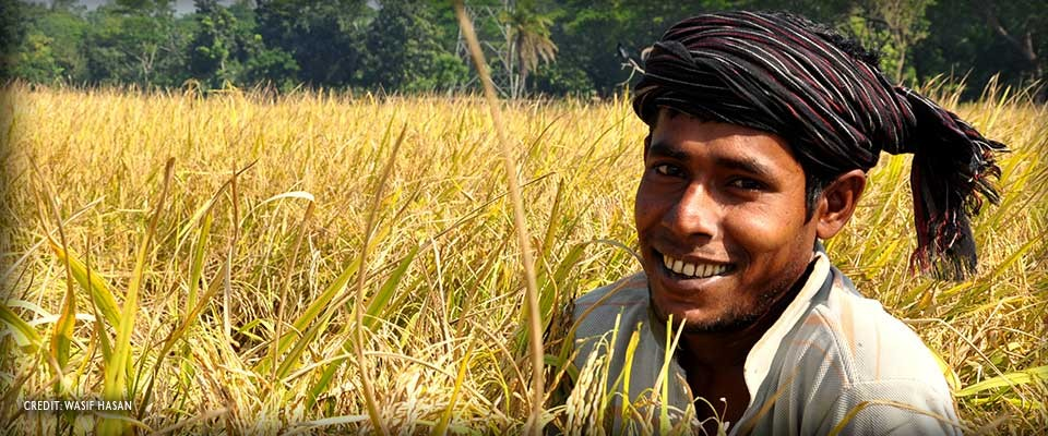 Image of Bangladeshi farmer harvesting rice