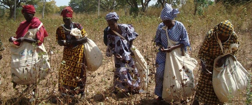 Women pick cotton
