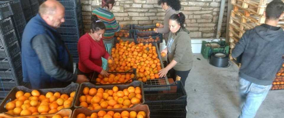 Workers in Xarra prepare citrus export