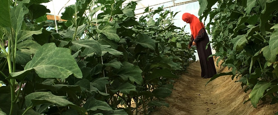A worker at the Kandahar Directorate of Women's Affairs (DOWA) demonstration farm sows an improved variety of tomato seeds.