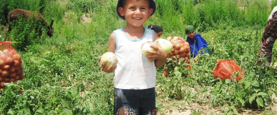Farmer's son helps with onion harvest collection in Qumsangir