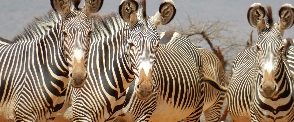 Grevy's zebras have been on the endangered list for the last 30 years.