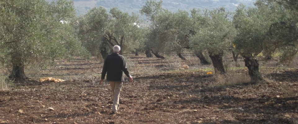 Arab Israeli farmer walking through olive grove
