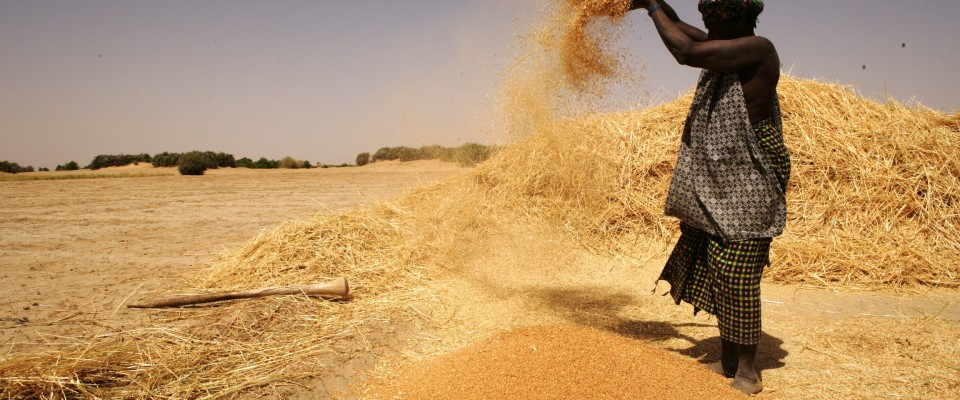 Malian woman cleans rice after harvest.