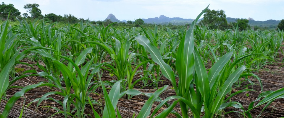 Mozambican farmers are learning techniques that will improve crop productivity.
