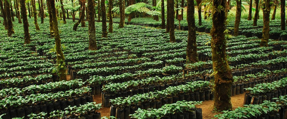 New coffee plants organically grown on a coffee plantation under shade trees