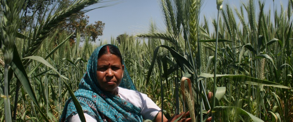 A farmer holding wheat stalks in the field