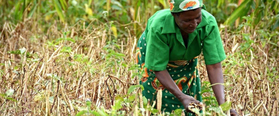 USAID is coordinating with the Malawian government to invest in crops like legumes.