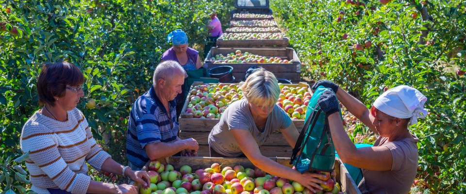 People harvesting apples in an orchard