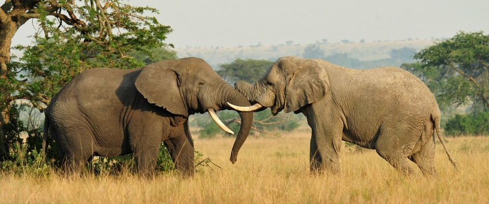 Two elephants on a plain