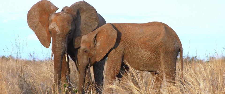 Elephants of Ruaha