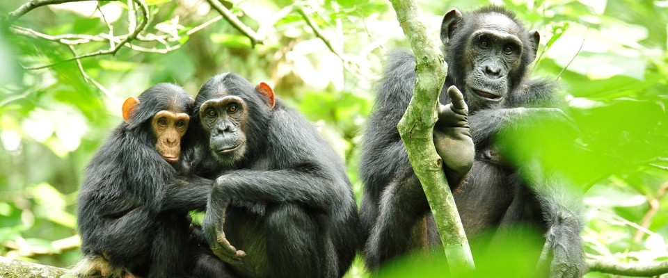 Three chimpanzees sit on branches