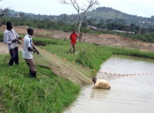 Ugandan fish farmers harvest carp from an aquaculture pond.