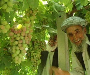 Said Agha from Shamali Plain in Kabul Province looks on to his new crop, soon to be harvested. His income has increased by 50 pe