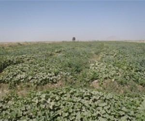 After:Today, the reconstructed karez system irrigates 56 percent more arable land, and farmers are able to increase their agricu