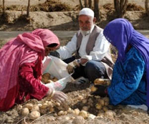 Potato harvesting in Bamyan