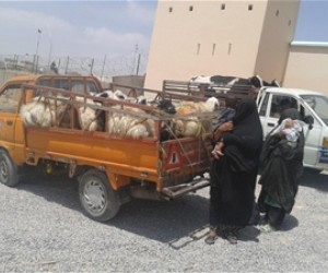 Widows collect their cows and sheep