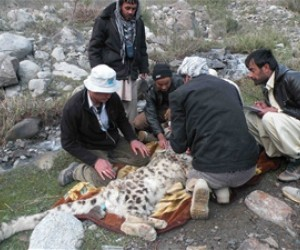 In a first for Afghanistan, three snow leopards were fitted with satellite collars