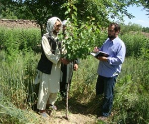 Sayed Sakandar (left) in his orchard, in animated conversation about the merits of growing fruit`