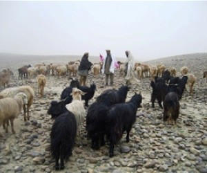 Dr Raqib examines a sheep at a Kuchi settlement in Laghman province