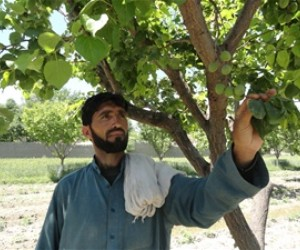 Manzoor Ahmad in his apricot orchard in Nangarhar