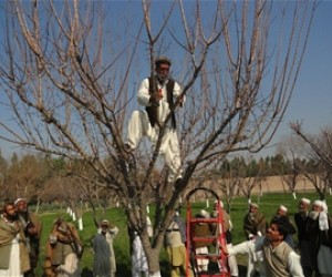 A fruit farmer, newly trained in pruning techniques, hard at work in an orchard in Nangarhar