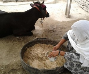 Recent widow, Wajma, can now offset a lost income with the help of a cow provided by USAID's Afghan Civilian Assistance Program