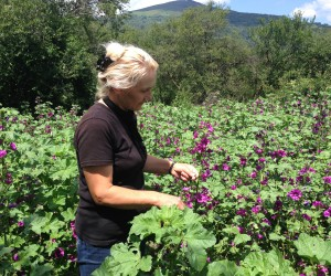 Flowering plant valued as a cosmetic ingredient provides regular income for rural poor