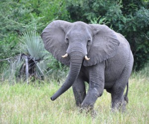 Photo of a young elephant in the bush