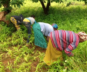 Women weeding a ginger farm in Sarekaly, Telimélé