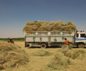 Hamsa Haji Hussain and his employees load hay for export from Berbera Port.