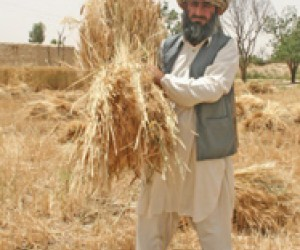 Abdul Khaliq, a farmer from Mahool Baloch village in Loralai district, gathers his abundant wheat harvest.