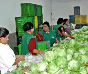 Women from the Paraxaj community in Guatemala pack lettuce for a new buyer.