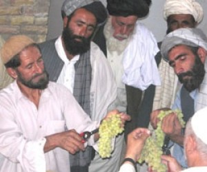 Farmers from Zabul Province traveled to Kandahar City to learn new techniques in vine care, 	 production, and post-harvest handl