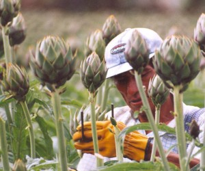 A farmer in a field of artichokes