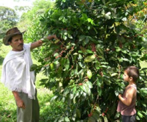 A farmer inspects his coffee shrub, planted in fields that once grew illegal crops, with his son near Turbó, in Colombia's Urabá