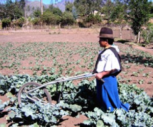 Ecuador's small farmers harvest broccoli to survive the country's agricultural trade problems.
