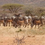Conservation efforts are paying off for Grevy's Zebras